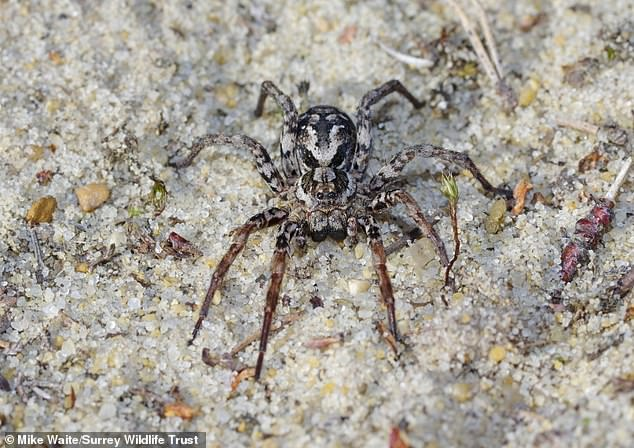 Mature female.With excellent eyesight, camouflage and speed, the Great Fox-Spider Alopecosa fabrilis is one of the largest of the Wolf-Spider Lycosidae family of spiders
