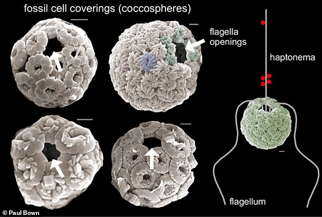 Before the K–Pg boundary, plankton skeletons — which experts refer to as 'coccospheres' — found in the fossil record looked notably different to those preserved from after the catastrophe, the team said. A large hole in the coccospheres from after the mass extinction suggests that the microorganisms had flagella — thin, tail-like structures, whose whipping motion would have allowed the algae to swim around and grab bacteria with its 'haptonema'