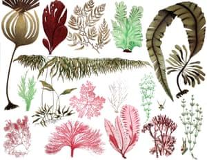 A range of pressed algae and kelp.