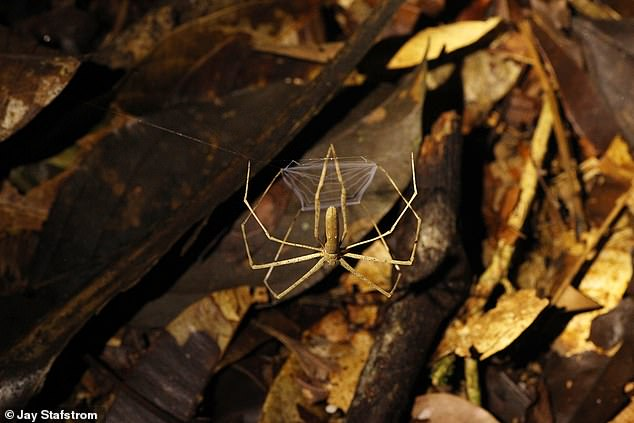 'I think many spiders can actually hear, but everybody takes it for granted that spiders have a sticky web to catch prey, so they're only good at detecting close vibrations,' said paper author and neurobiologist Ron Hoy of Cornell University
