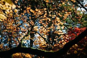 Autumn colour at Westonbirt from the Acer pseudoplatanus Brilliantissimum (sycamore) tree