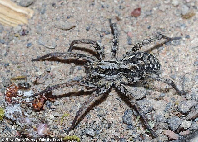 Pictured, the mature female.In all, 22 spiders were found, including the large mature female and 10 mature males