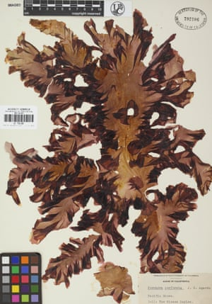 Seaweed specimens such as this one from the Victorian era show how the seas have changed.