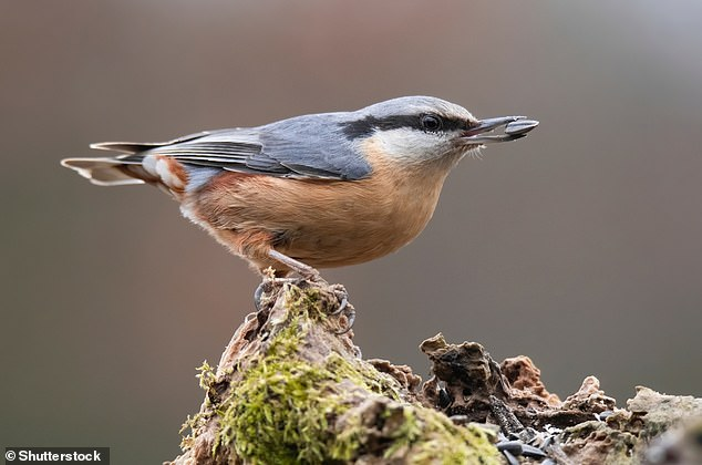 Fear of the virus when outside also mirrors bird having to navigate its predators. Pictured, aEurasian nuthatch or wood nuthatch (Sitta europaea)