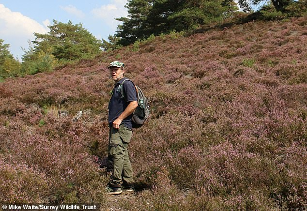 Pictured, Mike Waite from Surrey Wildlife Trust in search of the Great Fox spider, which was last sighted in 1993
