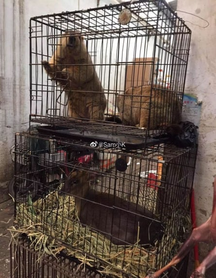 Marmots in a cage. The plague can jump from the species to humans through the bite of the tarbagan flea or through consumption of meat.