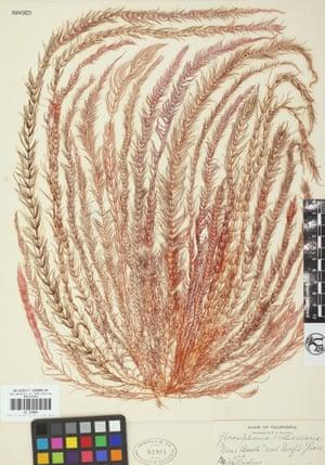 Another sample of Victorian-era seaweed at the University Herbarium, University of California, Berkeley.
