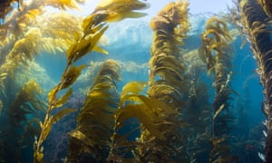 Wide Angle view of a kelp forest at Catalina Island, California.