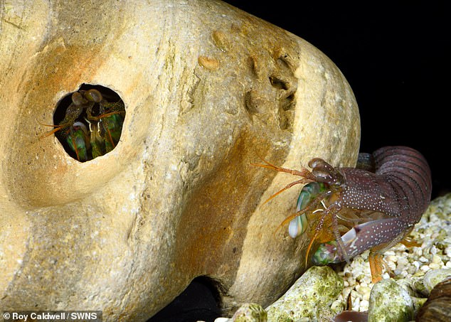 This smashing shrimp assesses a potential burrow. Researchers found resident mantis shrimps won most of the fights (69 per cent) against intruders. However, intruders won two thirds (67 per cent) of their battles when targeting smaller burrows and shrimp