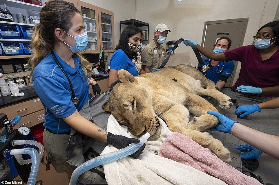 Kashifa, a 10-year-old lioness, was well sedated before her tooth was extracted.'We have never had an animal wake up during a procedure,' said zoo ambassador Ron Magill