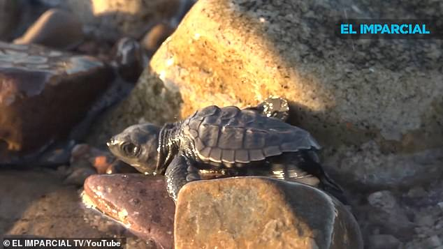 One of the smallest species of sea turtles, Olive Ridley turtle gets its name from the color of its heart-shaped carapace, or top shell