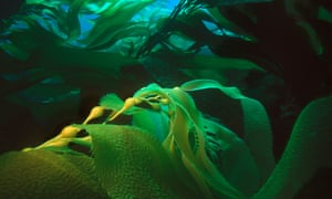 Giant kelp in California; kelp is used in the production of iodine, soda and fertilisers and alginic acid.