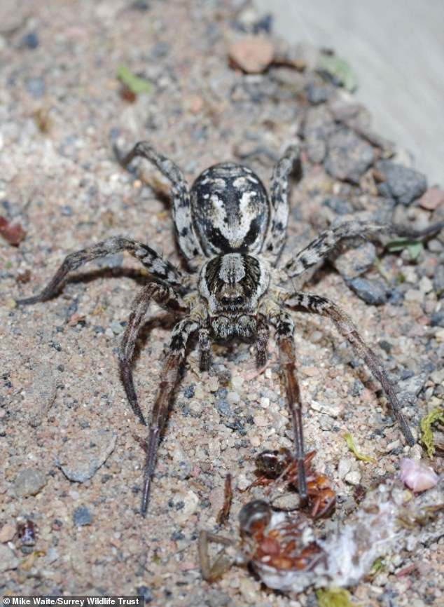 Mature female. The species is ground dwelling and largely nocturnal but Mike Waite, spider enthusiast at Surrey Wildlife Trust, had never given up hope that he might find the monster spider