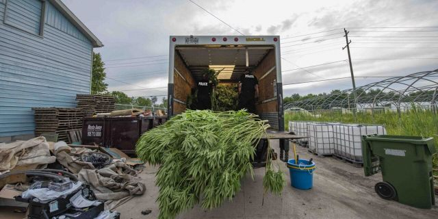 Cannabis seized in Project Green Sweep. (York Regional Police)
