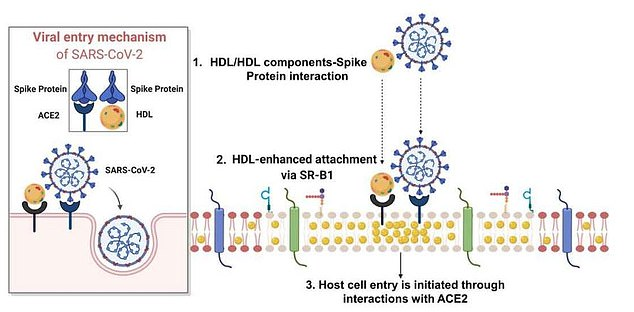 This graphic shows how cholesterol may be hijacked by SARS-CoV-2 to aid the infection of human cells. The virus binds to cholesterol and when cholesterol then attaches to its SR-B1 receptor on the surface of human cells, it brings the virus with it, which allows it to latch onto ACE2 allowing it to infect cells