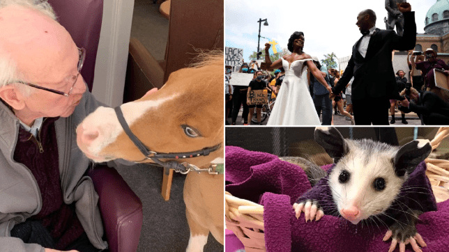 a comp of a man kissing a mini horse, a couple getting married at a BLM protest and a hairless opossum