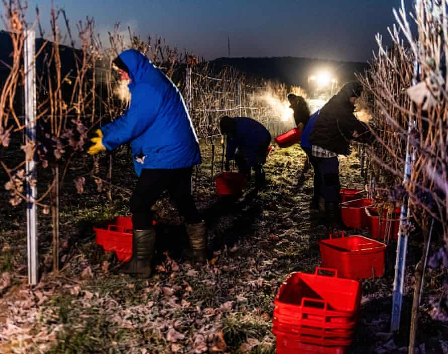 Grape harvesters bringing in the frozen grapes on the Petgen-Dahm wine estate.