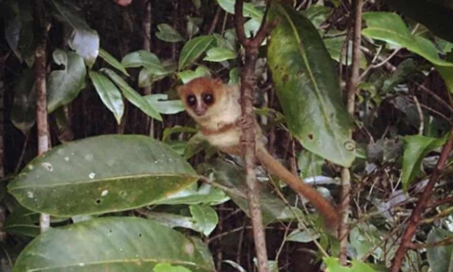 The Jonah's mouse lemur is on the verge of extinction, despite the fact that its existence was only announced this summer.