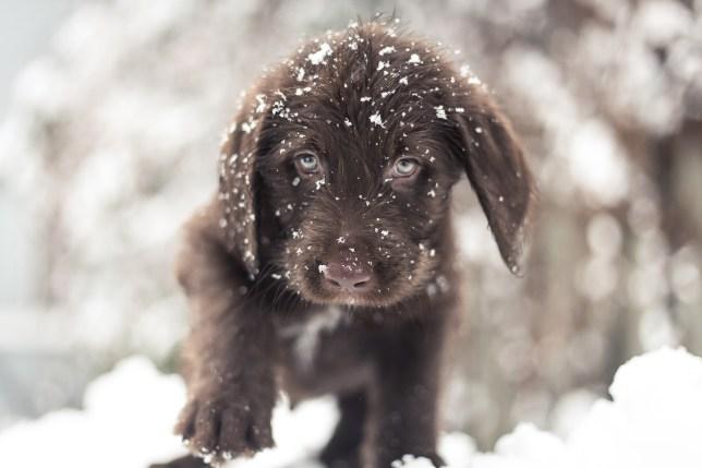 A chocolate Labrador exploring snow in Montreal, Canada.