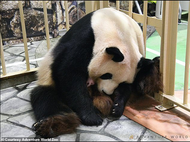 The unnamed cub being cuddled by her mother, Rauhin. The infant's father, 28-year-old Eimei, is the oldest giant panda in captivity