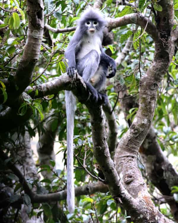 The critically endangered Popa langur