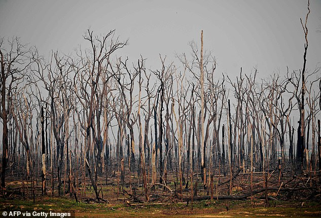 Burnt trees in the Amazon rainforest, near Abuna, Rondonia state, Brazil back in August 2019