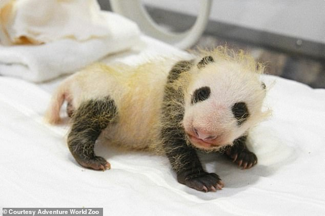 Because they're born with undeveloped reproductive organs, determining the sex of baby pandas is notoriously hard. Now over two pounds, the infant girl has started to grown the telltale black-and-white fur of a giant panda