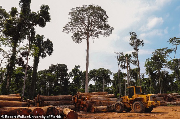 Pictured, thefirst step in forest destruction - logging.There is mounting evidence that deforestation affects regional climate by reducing precipitation and by lengthening the dry season