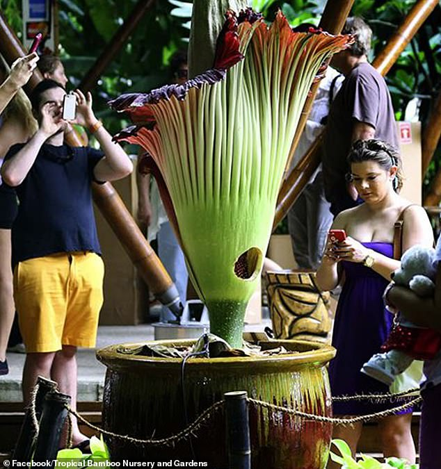 Horticulturalists are gathering a veritable 'family tree' for the infamous corpse flower, or amorphophallus titanium, to prevent the endangered flower from falling prey to inbreeding
