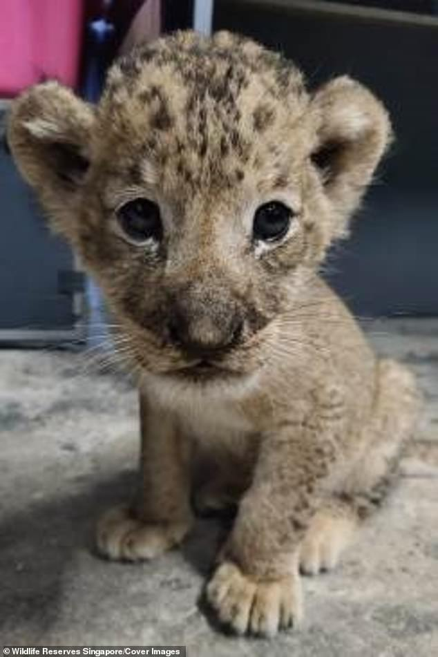 Simba, an African lion cub conceived via artificial insemination, was born at the Singapore Zoo on October 23. Sadly, his father, Mufasa, died during the semen-extraction process