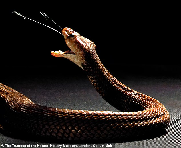 Spitting cobra species first evolved the ability to spray venom from their fangs (as pictured) in order to defend themselves — rather than to attack prey — a study has found