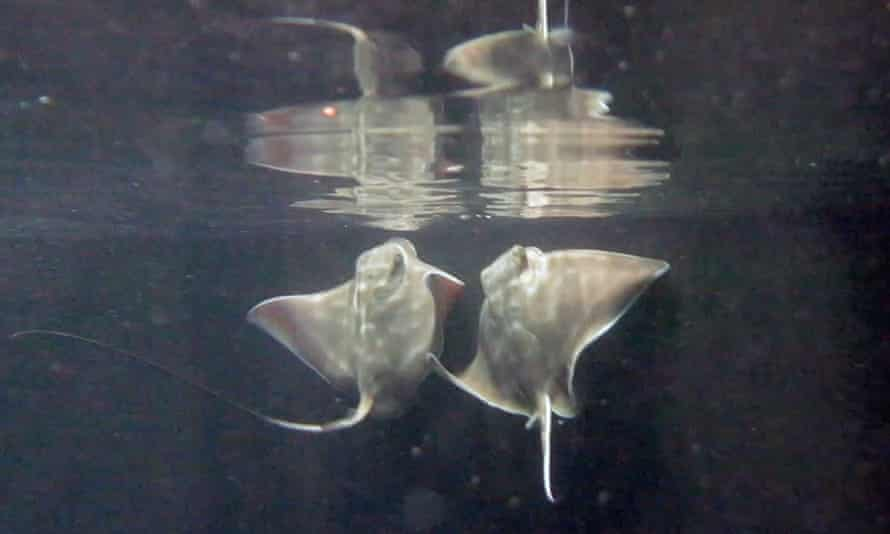 Eagle ray pups born to different mothers Nibble and Spot and housed in the walk-through tunnel display at the SEA Life Kelly Tarlton's Aquarium in Auckland, New Zealand