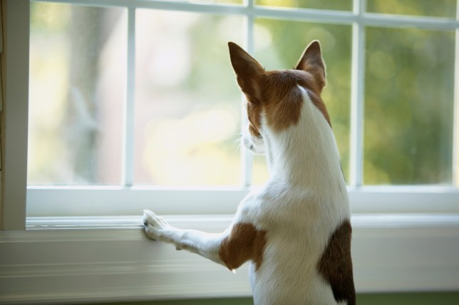Pet Dog Looking out of Window