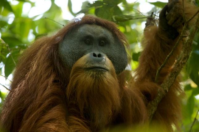 Sumatran Orangutan (Pongo abelii) Batang Toru Population Togus, adult flanged male Batang Toru Forest Sumatran Orangutan Conservation Project North Sumatran Province Indonesia
