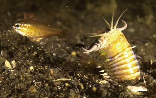 A modern-day bobbit worm as it tries to capture a fish. The ambush predator buries its long body in the sea bed before snatching prey and pulling it under the sand
