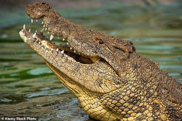 Crocodiles can hold their breath underwater for up to an hour owing to a remarkable ability to retain oxygen
