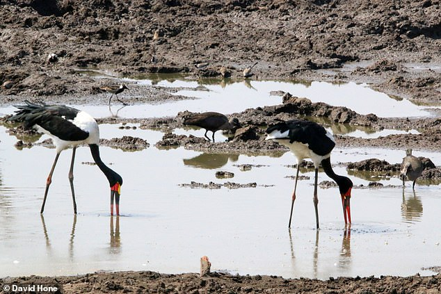Saddle-billed storks in Africa foraging with their beaks partly below water - Spinosaurus may have done something similar feasting on the shoreline for animals and fish