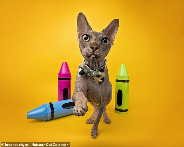 Natusan's litter is made entirely from recycled wood offcuts generated by the timber industry — meaning that it is 100 per cent biodegradable. It also comes with biodegradable disposal bags — and, for customers in London, can be collected to be taken away and composted to help grow new trees. Pictured, September's pin-up,Walter the Sphynx cat from Tennessee