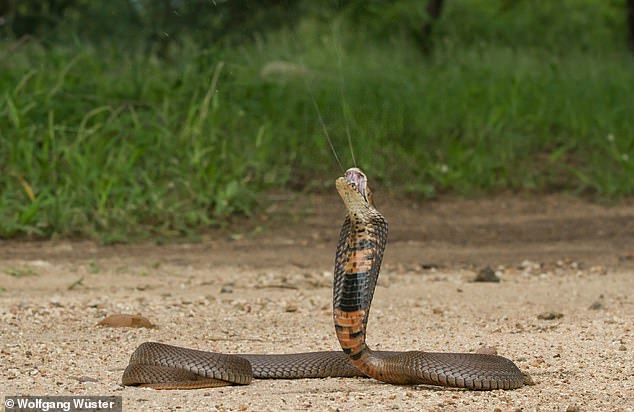 'Even though we studied three different cobra groups — which evolved in different locations and at different evolutionary time periods — each evolved the same defensive mechanisms in the face of a threat,' explained paper author andherpetologist Wolfgang Wüster