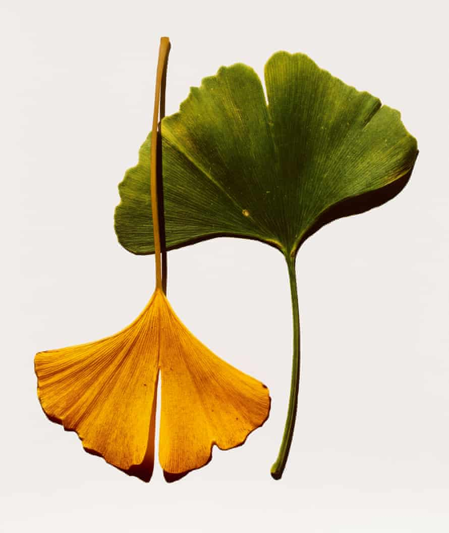Irving Penn - Ginkgo Leaves, New York, 1990