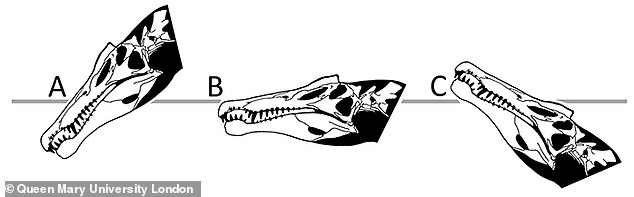 Researchers studied the likely head position of Spinosaurus in the water, determining it was unsuited to open aquatic pursuit of fish