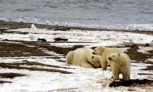 A polar bear sow and two cubs on the Beaufort Sea coast in the Arctic National Wildlife Refuge.