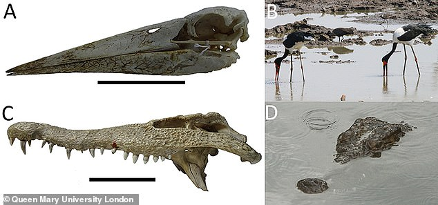 Researchers found that the Spinosaurus (fossil pictured left) were more like a stork or heron (top right) in how they fed than the crocodile (bottom right)