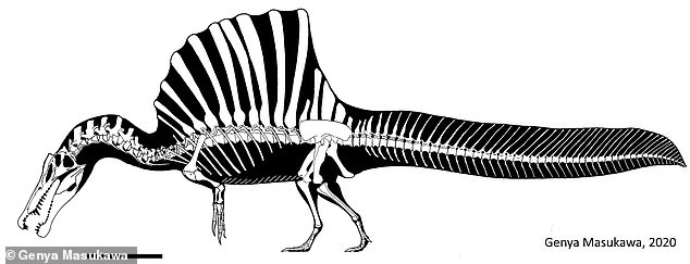 Reconstructed skeleton of a moderately sized Spinosaurus showing its famous sail-back and tail plume