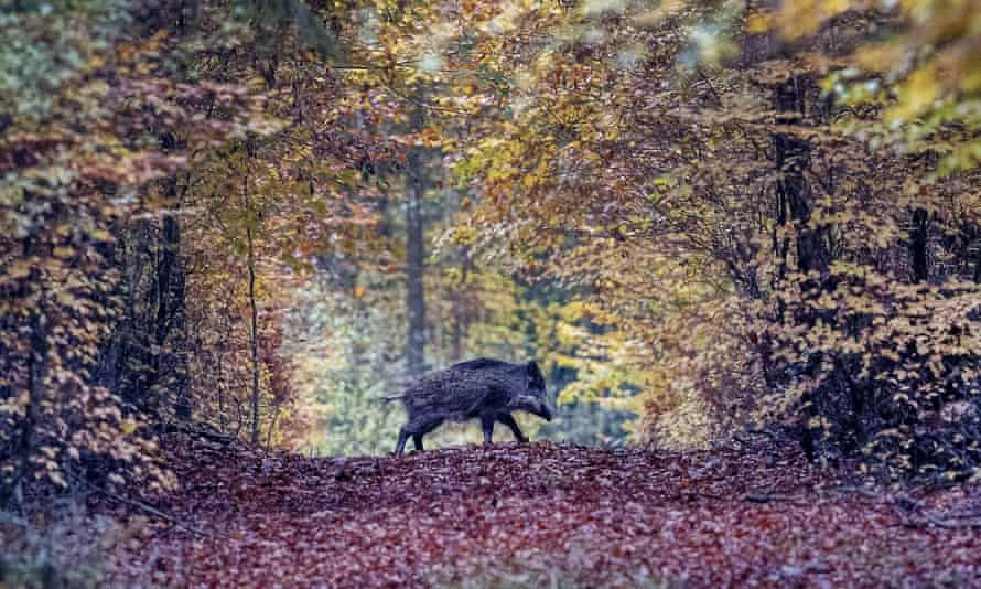 A wild boar runs through a forest in the Taunus region near Frankfurt, Germany, where the first case of ASF was discovered in September.