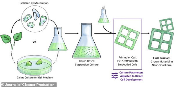Image shows how a small volume of plant material, can grown tissue-like constructs in the lab. Cell isolation from plant samples varies with plant species. In some species, cells can be obtained directly through maceration of leaves, while others require an additional callus culture step as depicted by the dashed arrows.Callus is the soft tissue that forms over a wounded or cut plant surface, leading to healing