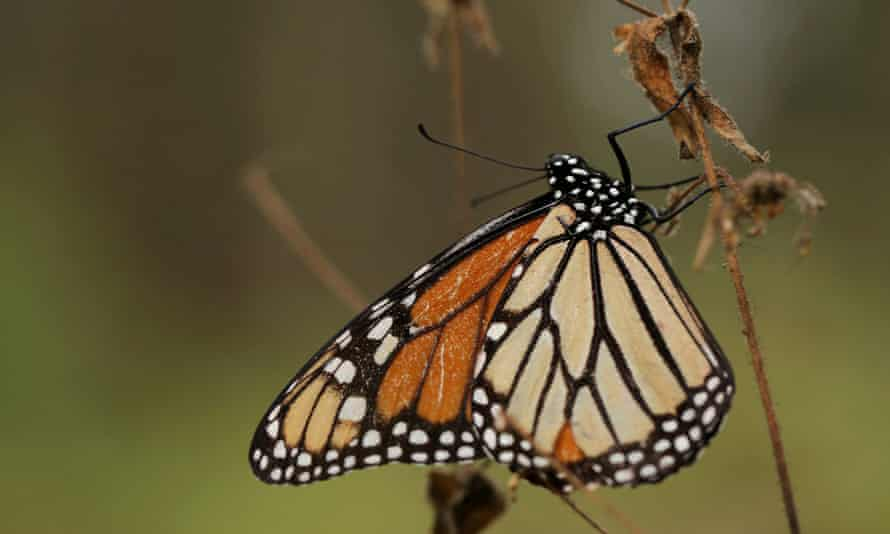 A monarch butterfly is seen at El Rosario sanctuary for monarch butterflies in the western state of Michoacan, near Ocampo, Mexico.
