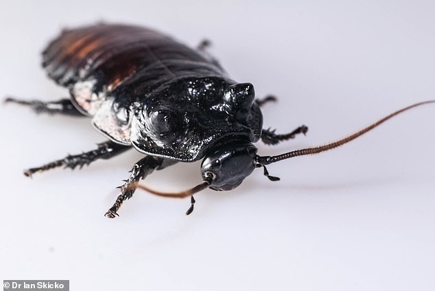 Photograph of a male wide-horned hissing cockroach (Gromphadorhina oblongonota). Researchers say: 'the ability to effectively deliver oxygen to the tissues may enhance fighting ability by allowing longer-lasting aerobic respiration'