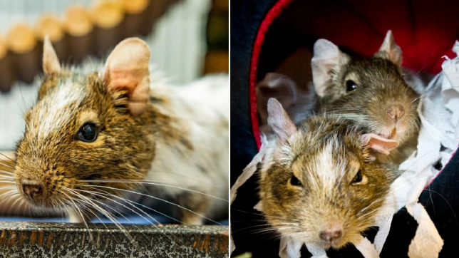 two pictures - one of greg the degu, and another with him and his new partner sophie