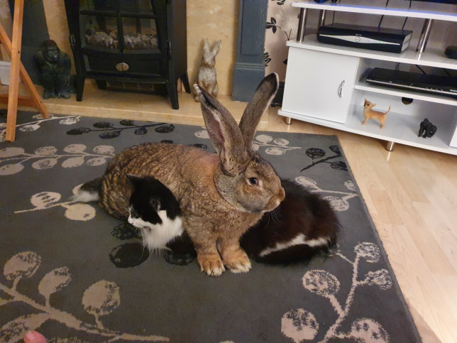 Huge pet rabbit weighing 19lbs has free reign of the house, becoming besties with cat